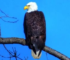 Bald Eagle in La Coulee, Manitoba Bald Eagle, Outdoors, Travel, Animals, Viajes, Animales, Animaux, Trips, Exterior