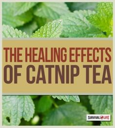 The Healing Properties of Catnip Tea | Medical Tips and Health Benefits of the Herbal Plant by Survival Life at http://survivallife.com/2015/04/08/catnip-tea-healing-properties/