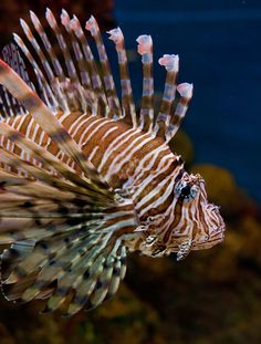 The lionfish was the 29th most popular species imported in 2005 with 63,284 individuals