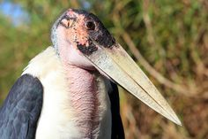 MARABOU STORK | Flickr - Photo Sharing!