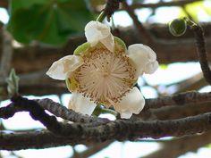 Baobab Tree Blossom. Baobab Africain by dinesh_valke, via Flickr