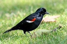 The Tricolored or Tricoloured Blackbird (Agelaius tricolor) is a passerine bird of the family Icteridae. Its range is limited to the coastal...