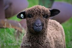 Sheep Photography  Farm Animal Photography  by BearCreekDesign