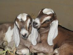Two sweet Nubian goat kids! I just love creamy sweet goat milk and there is nothing cuter than baby goats! Except maybe baby chickens. :)