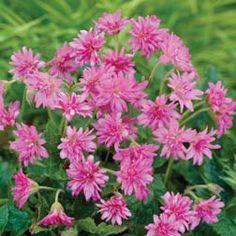 Hardy Geranium 'Southcombe Double' - Double Flowering Hardy Geraniums - The Vernon Geranium Nursery