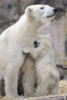 A young polar bear hugging its mother.
