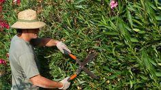 Oleander richtig pflegen: Was Sie beim gießen, düngen, schneiden und überwintern der schönen aber giftigen Kübelpflanze beachten müssen.