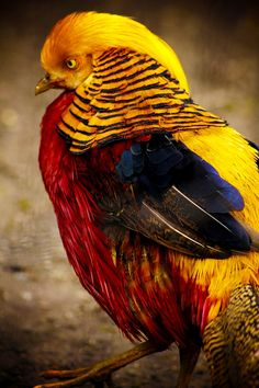 earthandanimals:  Gold Pheasant  *This is my own photography*