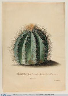 Georg Dionysius Ehret, Cactus Melocactus India Orientalis, 1743. Collection of Christoph Jacob Trew. UB Erlangen-Nürnberg