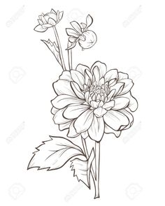Dahlia Flower Isolated On White Background. Royalty Free Cliparts, Vectors, And Stock Illustration. Flower Line Drawings, Flower Sketches, Art Drawings, Dalia Flower, Stock Flower, Flower Outline, Floral Drawing, Botanical Illustration, Botanical Drawings