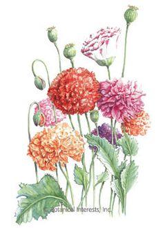 Poppy Peony Double Blend HEIRLOOM Seeds
