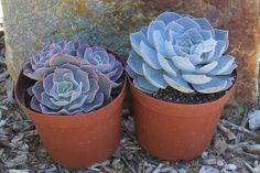 """6"""" Echeverias Succulent bulk wholesale succulent prices at the succulent source - 5"""