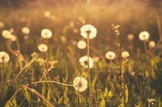 Items similar to Nature Photography - fine art photography dandelions golden wishes photograph print wall art on Etsy Photography Projects, Outdoor Photography, Fine Art Photography, Amazing Photography, Nature Photography, Summer Photography, Sunset Photos, Nature Photos, Nature Collage