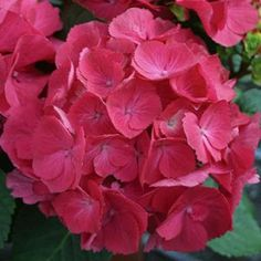 Cityline Paris Hydrangea: This new and improved hybrid dwarf Hydrangea from Germany has tight sturdy stems and is extremely mildew resistant.