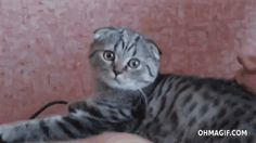 Cat Funny Gif #20210 - Funny Cat Gifs|Funny Gifs|Cat Gifs