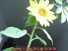 Die einzigartige Webcam-Sonnenblume starrt in den ersten Juni-Abend hinein.