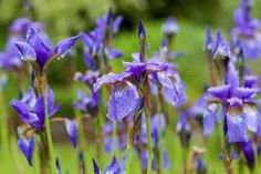 Try these 21 perennial flowers that bloom from spring to fall for season long color in your next garden. Low maintenance perennials with various blooming times provide your flower beds with the right amount of color all season long. Long Blooming Perennials, Flowers Perennials, Planting Flowers, Hosta Plants, Foliage Plants, Perennial Plant, Hardy Plants, Flowering Plants, Red Hot Poker Plant