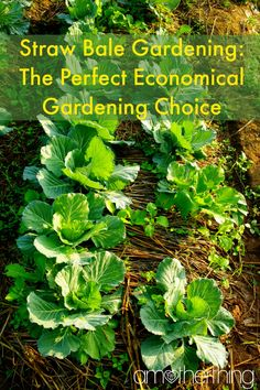 Straw Bale Gardening: The Perfect Economical Gardening Choice