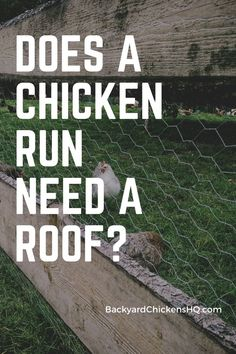 """A common question I have heard people ask is """"Does a chicken run need a roof?"""" Maybe you have wondered that yourself. You have probably seen a lot of chicken runs with a roof and then also the many without. So what gives? Raising Quail, Raising Ducks, Raising Rabbits, Raising Backyard Chickens, Backyard Chicken Coops, Keeping Chickens, Chicken Coop Plans, Building A Chicken Coop, Diy Chicken Coop"""
