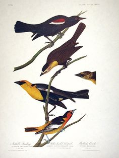 Nuttall's Starling, Yellow-headed Troopial, Bullock's Oriole. From The Birds of America Amsterdam Edition by John James AUDUBON on Audubon Galleries