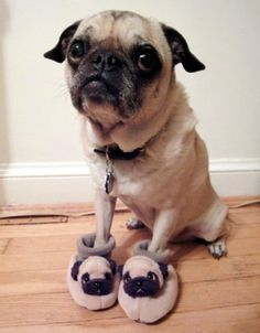 I don't like pugs, but this is freakin' adorable!