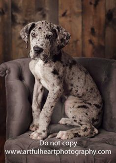 great dane puppy    Like, repin, share! :)