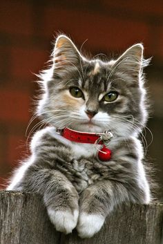 Red collar and stunning face
