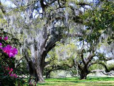 New Orleans City Park! Those beautiful oaks draped in Spanish moss!
