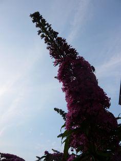 Roze vlinderstruik. Pink Buddleja. Check voor meer foto's ivyandlily.nl