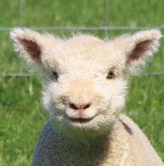 I love Babydoll Sheep...they look so happy!