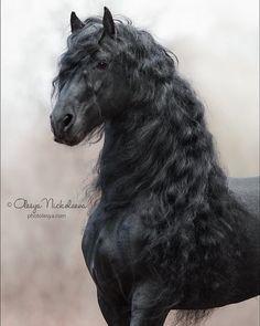 Cute Horses, Pretty Horses, Horse Love, Beautiful Horse Pictures, Most Beautiful Animals, Friesian Horse, Andalusian Horse, Arabian Horses, Appaloosa