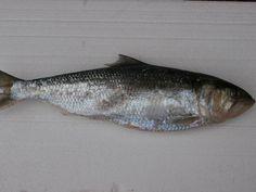 Alosa fallax Twaite Shad Marine Fish, Marine Life, Fish, Animales