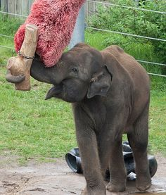 In Washington, D.C.'s Smithsonian National Zoo, an elephant plays with an enrichment object as a source of entertainment. Elephants never turn down a toy!