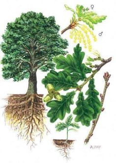 Dub letní (Křemelák) - Tipy do lesa - Vojenské lesy a statky dětem Garden Trees, Trees To Plant, Oak Leaf Tattoos, Illustration Botanique, Natural Structures, Small Trees, Botanical Prints, Drawings, Artwork