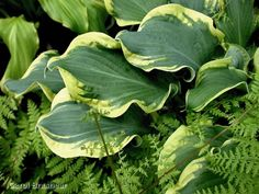 Hosta 'Wheee!' - Yes, that's really the name of this hosta! How cute!