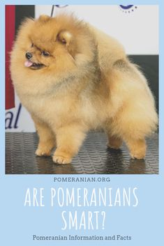 Marvelous Pomeranian Does Your Dog Measure Up and Does It Matter Characteristics. All About Pomeranian Does Your Dog Measure Up and Does It Matter Characteristics. Pomeranian Puppy, Husky Puppy, Diabolik Lovers, Save A Dog, Puppy Images, Dog Information, Dog Facts, Lap Dogs, German Shepherd Puppies