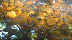 Video of tadpoles at the Swamp Trail Boardwalk at #Yawgoog!  On the Orange Trail.  Recorded on July 5, 2015, by David R. Brierley.