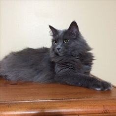 Grey nebelung Molly waiting...this looks just like Gabby Grey