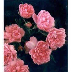 Pink Grootendorst