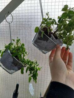 A starter herb garden for an apartment-bound gardening newbie! Herb Garden Planter, Gutter Garden, Cedar Planter Box, Garden Basket, Diy Herb Garden, Herbs Garden, Garden Beds, Diy Hanging Planter, Hanging Herbs
