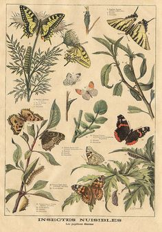 ptitjournal 27 juin 1897 in Vintage Botanical Prints, Botanical Drawings, Botanical Art, Vintage Prints, Vintage Posters, Illustration Botanique, Butterfly Illustration, Nature Illustration, Botanical Illustration