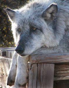 Wolf Mountain Sanctuary - California Interactive Wolf Educational Tours