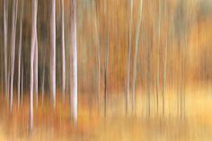 Ursula Abresch Premium Thick-Wrap Canvas Wall Art Print entitled Autumn Birches, None Abstract Photos, Abstract Photography, Fine Art Photography, Photography Tutorials, Abstract Art, Experiment, Beach Landscape, Creative Landscape, Landscape Photos