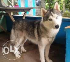 Grizzly Husky Puppy Cute Puppies Siberian Husky Puppies Cat Adoption