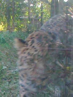 Another close-up of the Amur Leopard at the Helsinki Korkeasaari Zoo