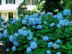 I love Hydrangeas!! I have a plant similar to this picture called Nikko Blue. However, I've never had blue blooms, only light pink and green.