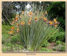 Narrow-Leaved Bird of Paradise (Strelitzia juncea)