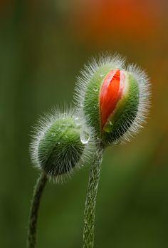 Photo Poppy bud by Marie-Ann Olsson on 500px