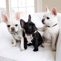 French bulldogs white, black, white... Simple cute   ...........click here to find out more     http://guy.googydog.com