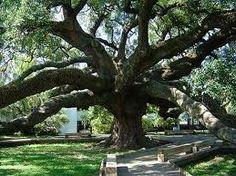 Treaty Oak,  a great place for photos!